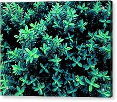 Little Green Crosses Acrylic Print