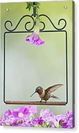 Little Hummer Inspecting The Garden Acrylic Print by Bonnie Barry