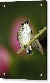 Little Humming Bird Acrylic Print
