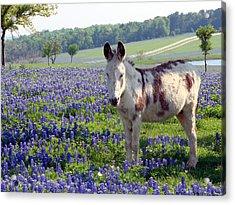 Little Jesus Donkey Acrylic Print