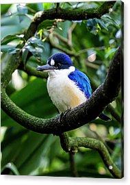 Little Kingfisher - Australia Acrylic Print by Steven Ralser
