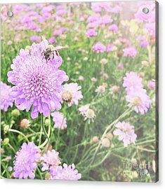 Acrylic Print featuring the photograph Little Lady On Scabiosa by Cindy Garber Iverson