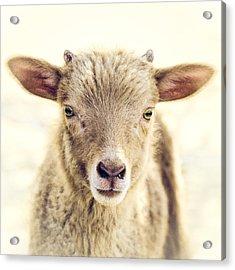 Little Lamb Acrylic Print by Humboldt Street