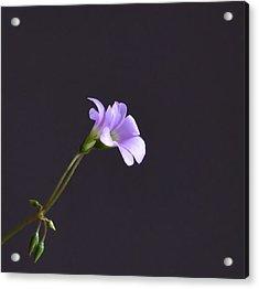 Little Lavender Flowers Acrylic Print