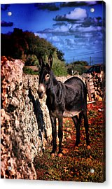 Little Mediterranean Donkey Dream Color With White Eyes And Belly  Hdr By Pedro Cardona Acrylic Print by Pedro Cardona Llambias