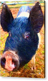 Little Miss Piggy Acrylic Print by Wingsdomain Art and Photography