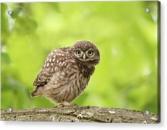 Little Olw Chick Acrylic Print by Roeselien Raimond