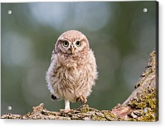 Little Owl Chick Acrylic Print by Roeselien Raimond
