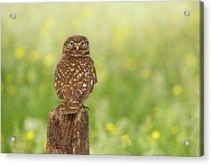 Little Owl In A Field Of Flowers Acrylic Print by Roeselien Raimond