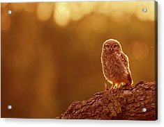 Little Owl In Red Acrylic Print by Roeselien Raimond