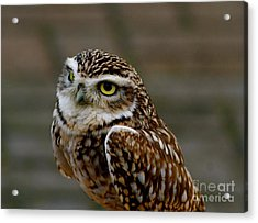 Acrylic Print featuring the photograph Little Owl by Louise Fahy