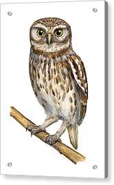 Little Owl Or Minerva's Owl Athene Noctua - Goddess Of Wisdom- Chouette Cheveche- Nationalpark Eifel Acrylic Print