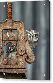 Little Owl Peeking Acrylic Print