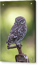 Little Owl Pipe Bender Acrylic Print
