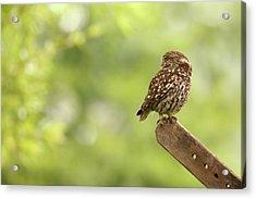 Little Owl Acrylic Print by Roeselien Raimond