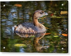 Acrylic Print featuring the photograph Little Pied-billed Grebe by David A Lane