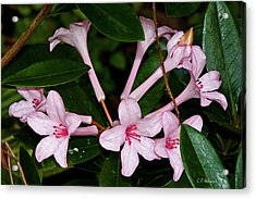 Little Pinks Acrylic Print by Christopher Holmes