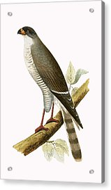 Little Red Billed Hawk Acrylic Print by English School