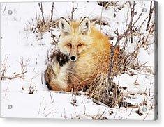 Little Red Fox Acrylic Print
