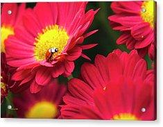 Little Red Ladybug Acrylic Print by Christina Rollo