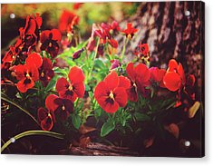 Acrylic Print featuring the photograph Little Red Pansies by Toni Hopper