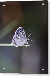 Little Teeny - Butterfly Acrylic Print