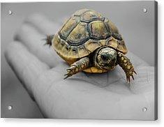 Little Turtle Baby Acrylic Print