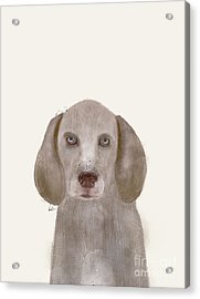 Acrylic Print featuring the painting little Weimaraner by Bri B