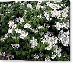 Little White Flowers Acrylic Print by Kate Gallagher