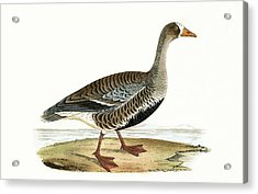 Little White Fronted Goose Acrylic Print by English School