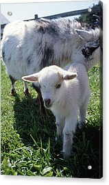 Little White Goat Acrylic Print