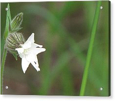 Little White Star Acrylic Print by Sylvia Wanty