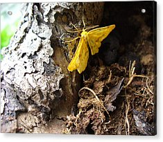 Little Yellow Moth Acrylic Print by Peggy King