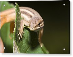Lizard Acrylic Print by Andre Goncalves