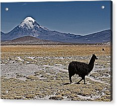 Llama And Sajama Acrylic Print by Ron Dubin