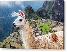 Llama At Machu Picchu Acrylic Print by Jess Kraft