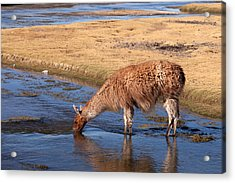 Llama Drinking In River Acrylic Print by Aivar Mikko