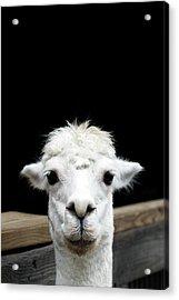 Llama Acrylic Print by Lauren Mancke