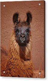 Llama Acrylic Print by Skip Hunt