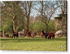 Acrylic Print featuring the photograph Alpacas In Scotland by Jeremy Lavender Photography