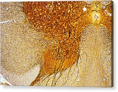 Lm Of A Section Through The Human Spinal Cord Acrylic Print by Power And Syred