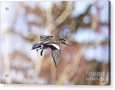 Locked Widgeon Acrylic Print