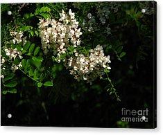 Acrylic Print featuring the photograph Locust Blossoms by Deborah Johnson