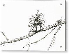 Lodgepole Pine Cone Acrylic Print