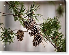 Lodgepole Pine Cones Acrylic Print by Karen Scovill