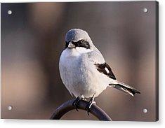 Loggerhead Shrike - Smokey Acrylic Print by Travis Truelove