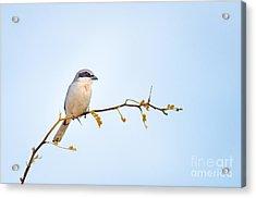Loggerhead Shrike Acrylic Print by Emily Bristor