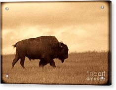 Lone Bison  Acrylic Print by American West Legend By Olivier Le Queinec