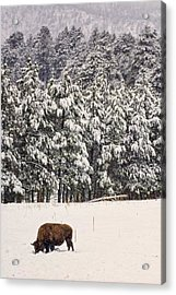 Lone Bison Acrylic Print