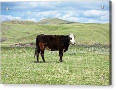 Lone Black Angus Cow Acrylic Print by Todd Klassy